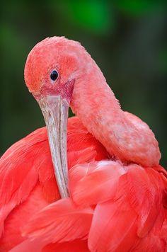 eqiunox:  Scarlet Ibis by Ray (Bird Photography) on Flickr