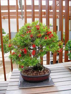 bottle brush bonsai tree - Google Search