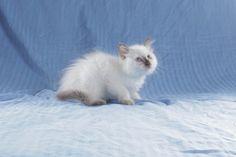 StormHaven Balinese kitten