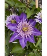 Multi-Blue Clematis (Clematis x 'Multi-blue') A free flowering selection displaying large, double, lavender blue blooms. Best trained on arbors, fences or grown over or through medium size shrubs. Avoid direct, hot sun. Deciduous.