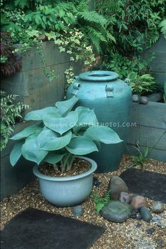 Blue hosta in matching blue pot & urn in shady spot with ferns, gravel and scattered stones