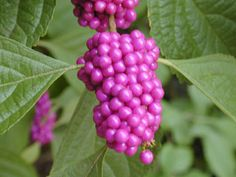 Callicarpa americana / American beautyberry. Fountain like habit, grows in moist woodlands. Butterflies enjoy nectar during spring flowering & birds enjoy the seeds in early fall.