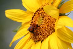 Tournesol : semis, plantation, entretien - Promesse de Fleurs