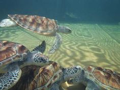 Turtles in Malaysia, the turtle breeding farm in Segari, soon to be destroyed.