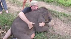 Baby Elephant cannot get enough snuggle time.  Elephant sits on man.  Man spooning Elephant.  Cuddlicious