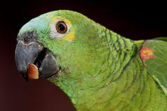 Foto papagaio-verdadeiro (Amazona aestiva) por Ricardo Q. T. Rodrigues | Wiki Aves - A Enciclopédia das Aves do Brasil