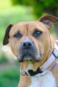 ~eu date 08/15/14~Crook~ Breed: Pit Bull Terrier  Age: Adult Gender: Female  Size: Medium, Altered, HasShots, Housebroken, NoCats, Shelter Information: Johnson...