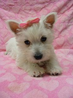 westie haircut | Jersey Westie Cutie | West Highland White Terrier