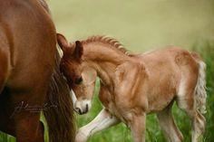 Adorable foal following Mom.