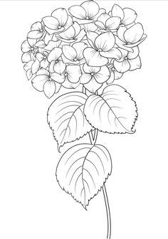 Blooming flower hydrangea on white background. Flower Line Drawings, Flower Sketches, Drawing Sketches, Art Drawings, Beautiful Flower Drawings, Beautiful Flowers, Botanical Drawings, Botanical Illustration, Watercolor Flowers