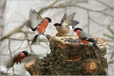 Love Birds, Beautiful Birds, Parus Major, Image Resources, Bullfinch, Winter's Tale, Great Pictures, Bird Watching, Bird Feathers