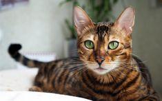 تحميل خلفيات القط البنغال, 4k, كمامة, الحيوانات الأليفة, القط المنزلي ،, العيون الخضراء, الحيوانات لطيف, القطط, البنغال
