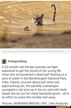 B A female scaredy cat tiger appeared to get the shock of her young life when she encountered a dead leaf floating on a pool of water in the Bandhavgarh National Park, India. Clearly unusure aboutjust what was approaching her, the partially su Cute Funny Animals, Cute Baby Animals, Funny Cute, Animals And Pets, Cute Cats, Hilarious, Scary Funny, Big Animals, Lions Live