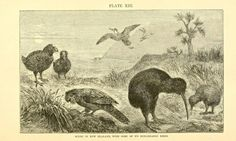 New Zealand's birds By Alfred Russel Wallace