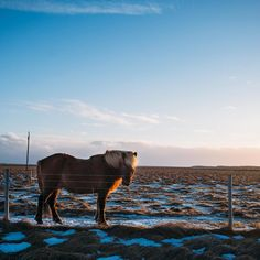 The Icelandic horse breed has now been bred pure in Iceland for more than 1,000 years, since early settlement of Iceland. It's the only breed of horse in Iceland and the breed is kept clean in Iceland, as exported horses can't go back to Iceland, and strict import laws to protect the breed. Photo by elissarphoto.