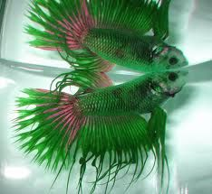 green and pink crowntail