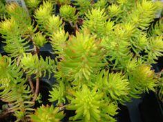 PLANTAS MORENAL: CRASAS Garden Plants, Cactus, Sedum, Planting Succulents, Flowers, Planters, Plants, Herbs, Echeveria