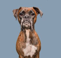 Dogsonality - Commercial pet photography by Elke Vogelsang, Hildesheim Mastiff Puppies For Sale, English Mastiff Puppies, Mastiff Dogs, Funny Puppies, Skeptical Dogs, Step On A Lego, Vet Clinics, Boxer Dogs, Boxers