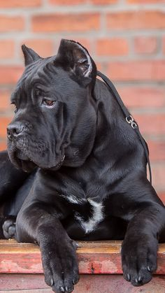 Cane corso, dog, look wallpaper, background iphone Bull Mastiff Dogs, Mastiff Breeds, Big Dog Breeds, Rare Dog Breeds, Black Mastiff, Pitbull Wallpaper, Italian Dogs, Look Wallpaper, Foto Top