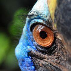 Cassowary Bird Eye by Dani Daniar - Animals Birds ( bird, kasuari, burung, nature, burung kasuari, indonesia, eye, animal, cassowary,  )
