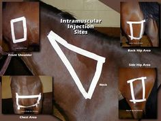 Good reference for IM vaccinations in horses Large Animal Vet, Horse Anatomy, Animal Anatomy, Horse Care Tips, Horse Facts, Horse Camp, Horse Training Tips, Animal Science, Horse Grooming