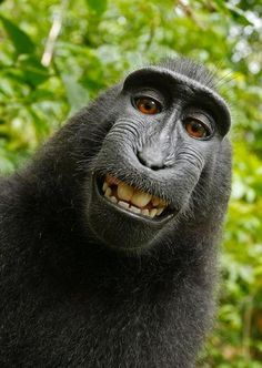 In Indonesia. This is a selfie. The monkey grabbed the photographer's camera and proceeded to take this awesome photo of himself.