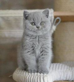 66 Ideas cats and kittens grey british shorthair for 2019 Cute Cats And Kittens, I Love Cats, Cool Cats, Kittens Cutest, Ragdoll Kittens, Funny Kittens, Bengal Cats, White Kittens, Ragdoll Cats