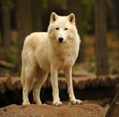 Thanks to its amazing coat, the Arctic wolf can endure years of sub-zero temperatures.