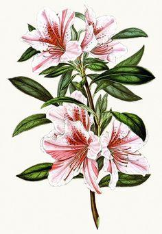 Rhododendron indicum exquisita (syn. azalea indica exquisita). From Flore des Serres et des Jardins de l'Europe (Flowers of the Greenhouses...
