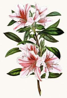 Rhododendron indicum exquisita (syn. azalea indica exquisita).    From Flore des Serres et des Jardins de l'Europe (Flowers of the Greenhouses and Gardens of Europe) vol. 3, by Charles Lemaire, Michael Scheidweiler, and Louis van Houtte, Ghent, 1847.