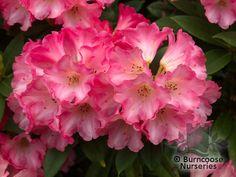 Rhododendron 'Surrey Heath' from Burncoose Nurseries RHODODENDRON HYBRIDS |