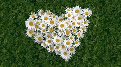 HD Hintergrundbilder gänseblümchen gras herz kräuter romantik, desktop…