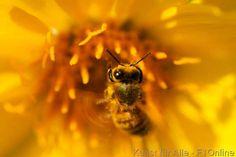 Arrowleaved Balsamroot, Stamin, Honeybee, Bienen, Pollen
