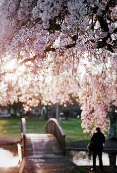 Cherry Blossoms ♥