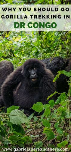 Gorilla Trekking in Virunga National Park in the Democratic Republic of Congo, Africa.
