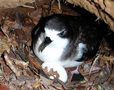 A new study by federal and university scientists has provided the first direct videographic evidence of depredation of the endangered Hawaiian Petrel by feral cats.