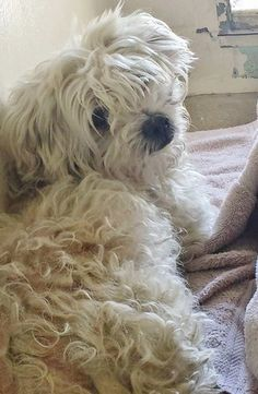 RESCUED*** *URGENT* Overwhelmed & scared Little Yorkie girl has tucked herself into a corner wondering why she is here,This is a fluffy, sweet, adorable little angel and this beauty needs your help. Please SHARE, a FOSTER or Adopter would save a life. thanks!  #A4869243 I'm an 4 year old gender unknown maltese.at the Carson Animal Care Center since August 21, 2015.