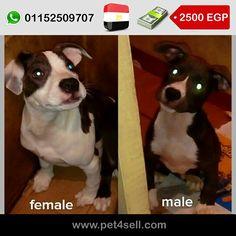 مصر ، القاهرة للبيع قص بيتبول 4 شهور متطعمين وكله تمام السعر للقص نهااااااااائى وممنوع الفصال #pet4sell