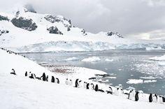 Pinguine in freier Wildbahn erleben. Am besten in der Antarktis. Schnee. Eis. Alles weiß. Wie herrlich.
