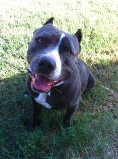 Meet Joseph, a Petfinder adoptable Pit Bull Terrier Dog | Aubrey, TX | JOSEPH is a very handsome, sweet, loving, silly boy. He's around 5 years old. He has wonderful...