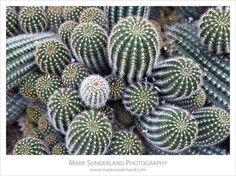 Red Torch Cactus - Echinopsis Huascha