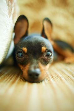 Sweet little min pin!