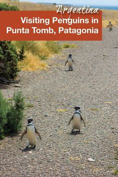 Punta Tombo in Argentina is an affordable way to see penguins. Perfect for travel in Argentina with kids, this visit can easily be done on your own. But for those that prefer a tour, there are many available.