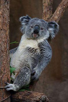 Cute Koala - by Janet Nelson-Price Cute Baby Animals, Animals And Pets, Wild Animals, Baby Koala, Koala Bears, Baby Otters, The Wombats, Australian Animals, Tier Fotos