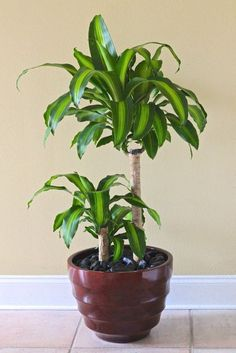 """The Dracaena fragrans """"Massangeana"""" plant, also known as the corn plant, is made up of shiny green leaves that have a yellow streak running down the center of the leaves. Most Dracaena fragrans """"Massangeana"""" are grown indoors in pots and are relatively low-maintenance plants."""