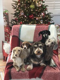 Merry Christmas Doxies