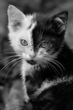 Adorable Kitten with a Half Black & Half White Face