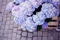 Lavender Fresh hydra