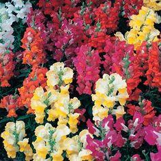 Antirrhinum Rainbow bedding plant - my favourite bedding plant. Reminds me of my gran's garden Rainbow Bedding, Antirrhinum, Garden Seeds, Dragons, Floral, Plants, Fresh, Beautiful, Coffee