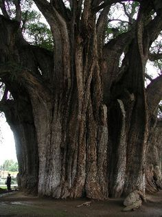 Located inside a gated churchyard in the picturesque town of Santa Maria del Tule, the Árbol del Tule is the widest tree in the world.  it is short (only 35.4 meters in height), stout (11.62 meters in diameter), and old (about 1,500 years)